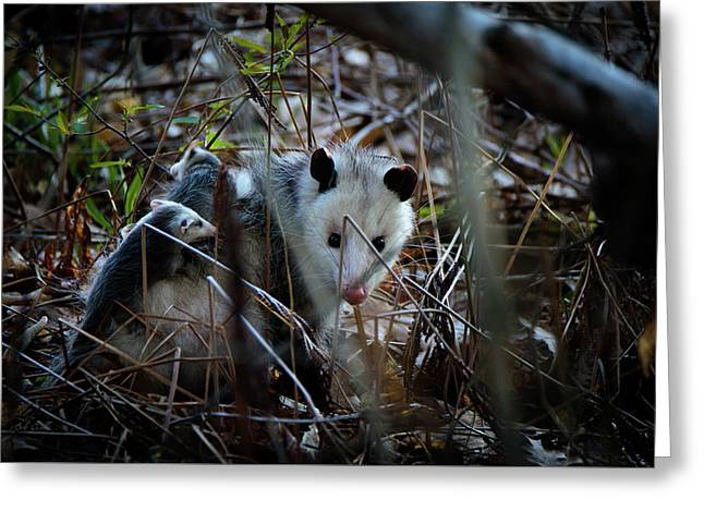 Opossums Riding Mother Greeting Card by Bob Orsillo