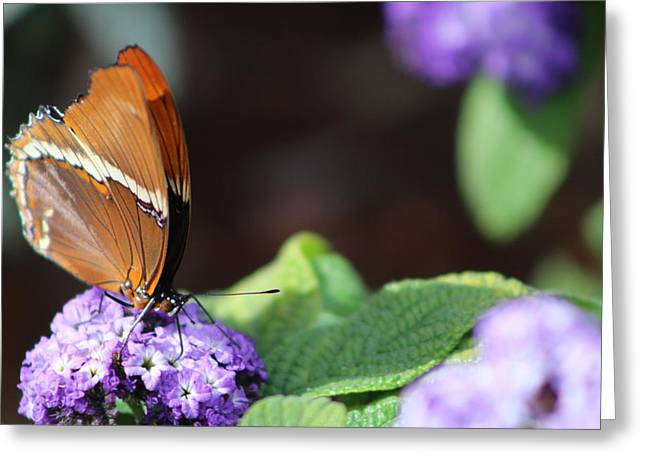 Orange And Brown Butterfly On Purple Greeting Card