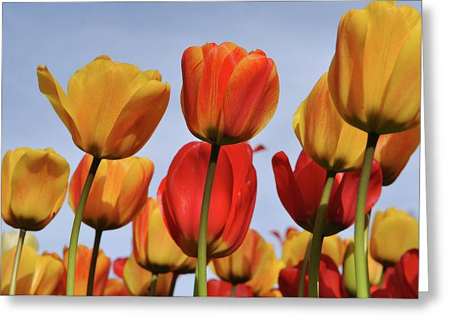Orange And Yellow Tulips With Blue Sky Greeting Card by Brandon Bourdages