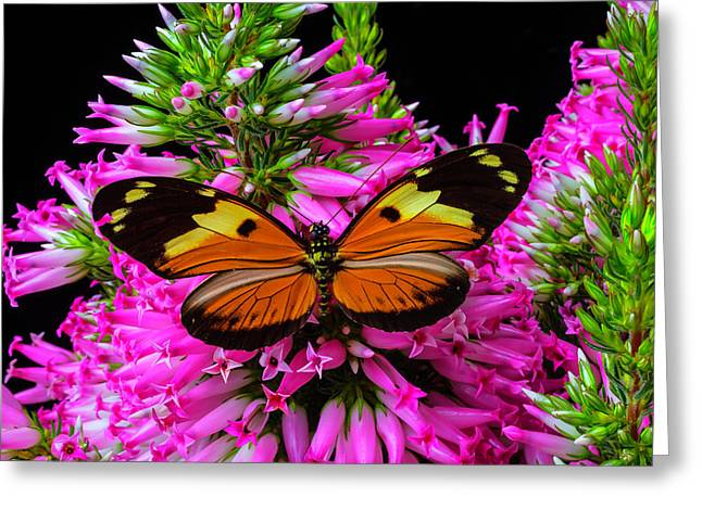 Orange Black Winged Butterfly Greeting Card by Garry Gay