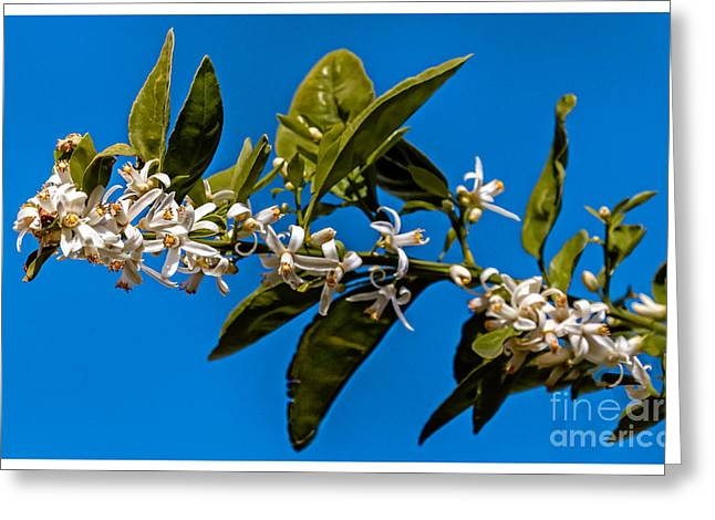 Orange  Blossoms Greeting Card by Robert Bales