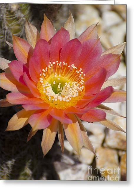 Orange Cactus Flower Greeting Card by Jim and Emily Bush