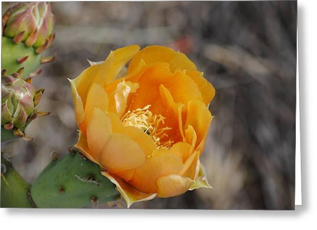 Orange Cactus Flower Greeting Card by Jon Rossiter