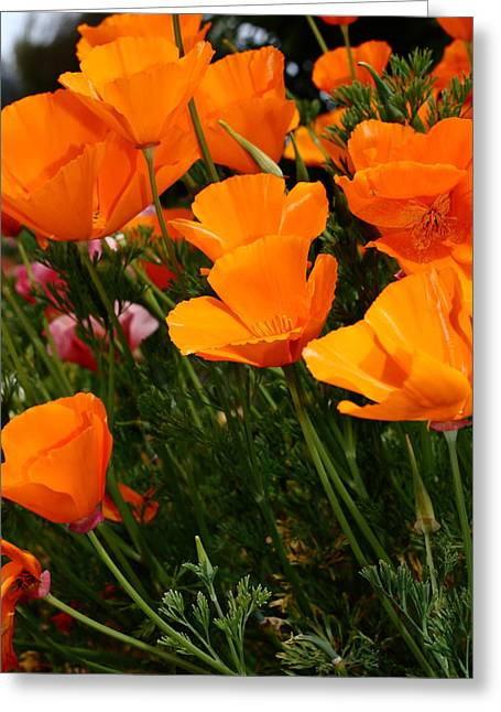 Orange California Poppy . 7d14756 Greeting Card by Wingsdomain Art and Photography
