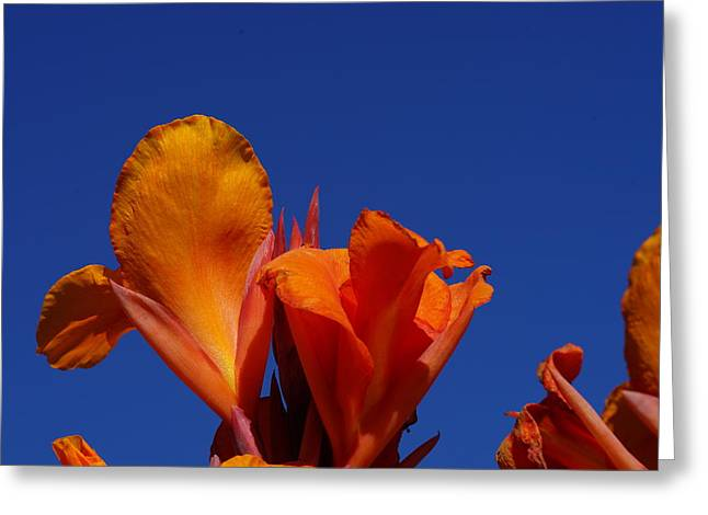 Orange Canna Greeting Card by Carrie Goeringer