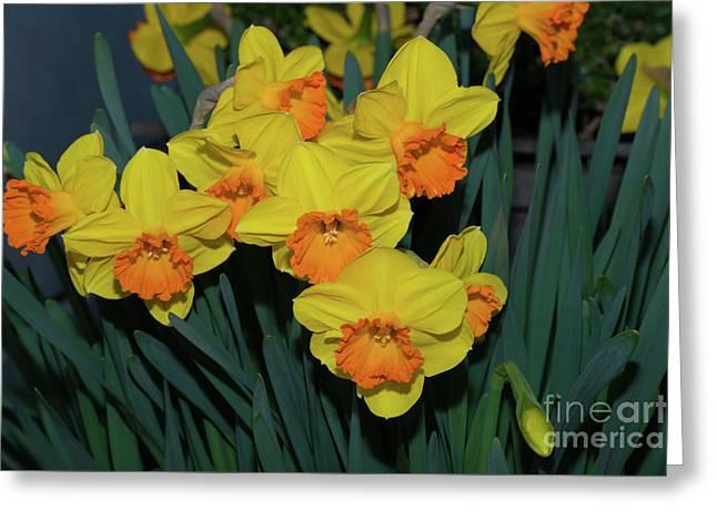 Orange-centered Daffodils Greeting Card