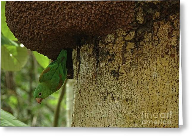 Orange -chinned Parakeet  On A Termite Mound Greeting Card