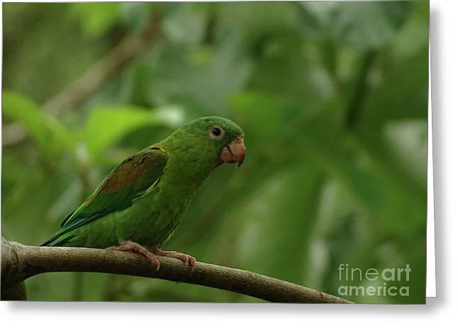 Orange-chinned Parakeet  Greeting Card