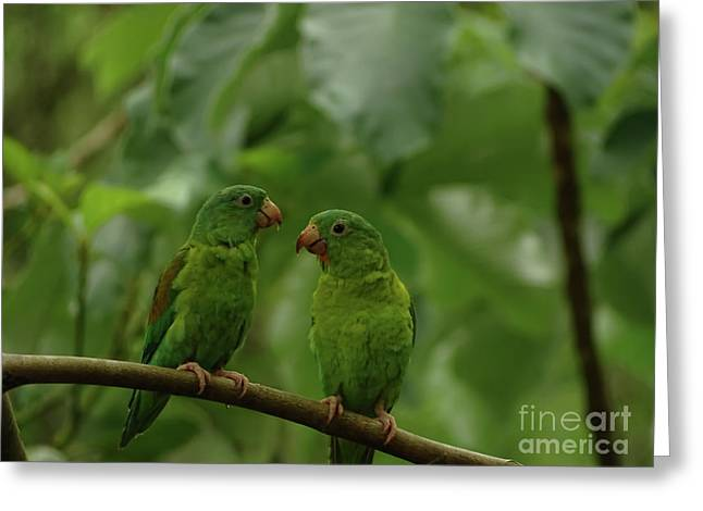 Orange-chinned Parakeets-  Greeting Card