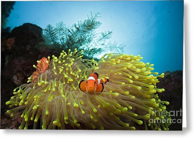 Orange Clownfish Greeting Card by Reinhard Dirscherl