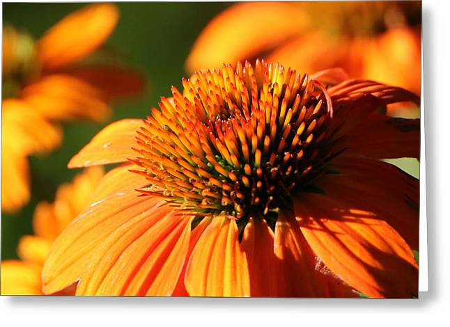 Orange Coneflower At First Light Greeting Card