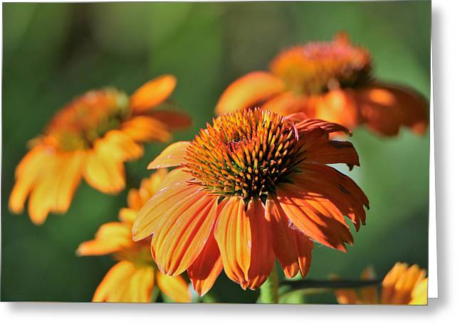 Greeting Card featuring the photograph Orange Cone Flowers In Morning Light by Sheila Brown