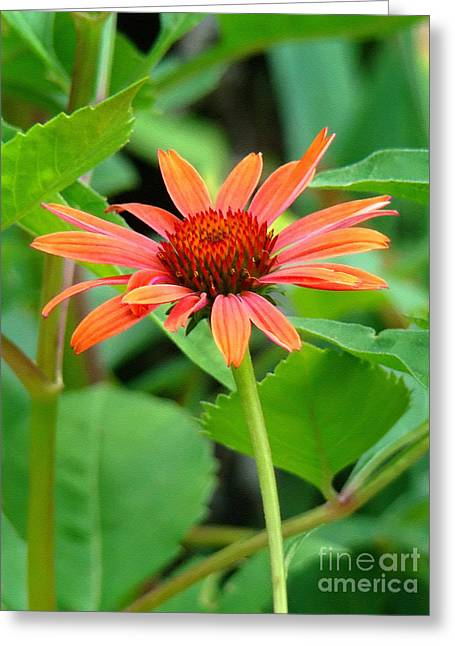 Greeting Card featuring the photograph Orange Coneflower by Sue Melvin