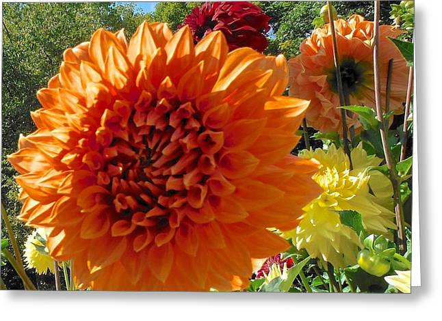 Orange Dahlia Suncrush  Greeting Card