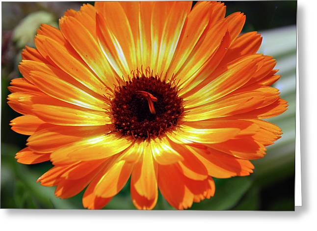 Orange Daisy Delight Greeting Card by Don  Wright