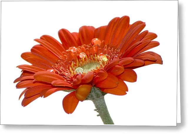 Orange Daisy Gerbera Flower Greeting Card by Pixie Copley