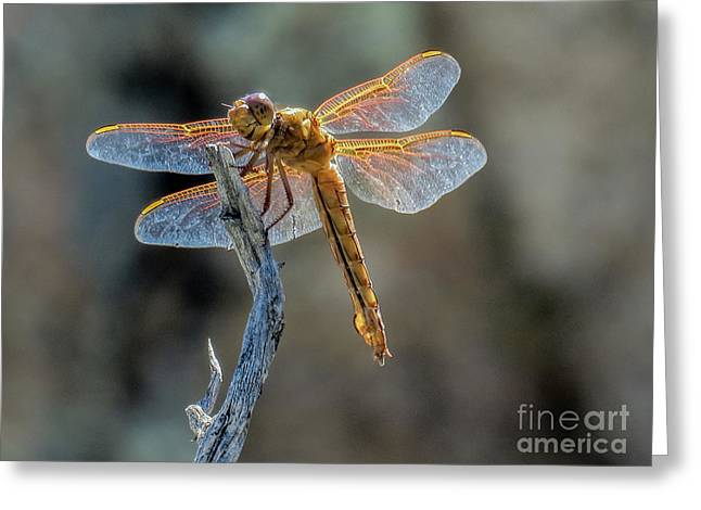 Dragonfly 6 Greeting Card