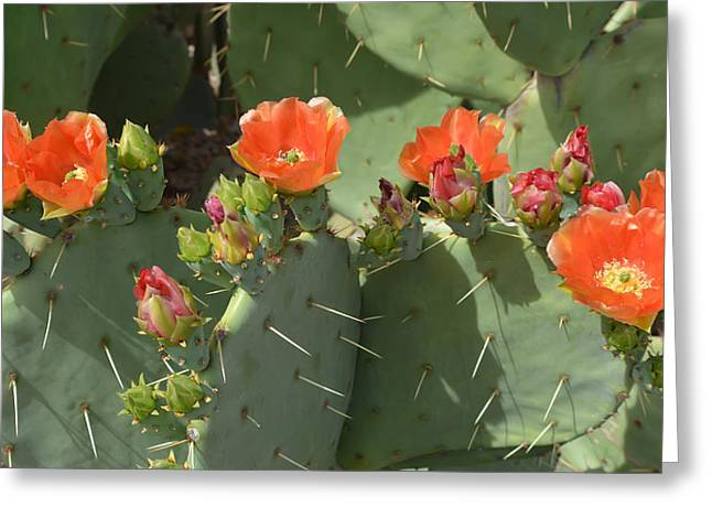 Orange Dream Cactus Greeting Card by Aimee L Maher Photography and Art Visit ALMGallerydotcom