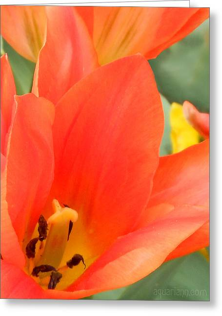 Orange Emperor Tulips Greeting Card