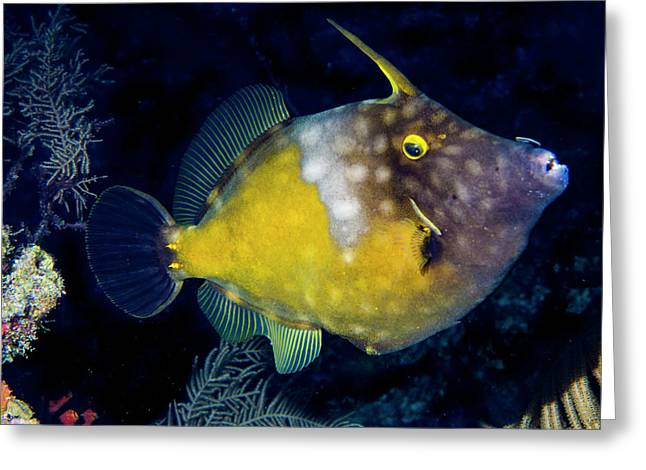 Greeting Card featuring the photograph Orange Filefish by Jean Noren