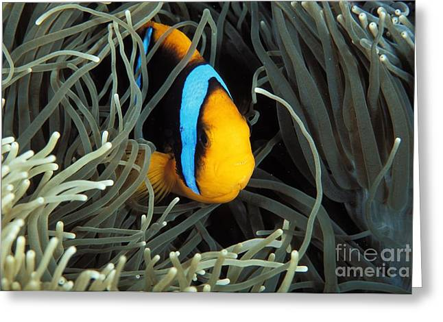 Orange-fin Anemone Greeting Card by Dave Fleetham - Printscapes
