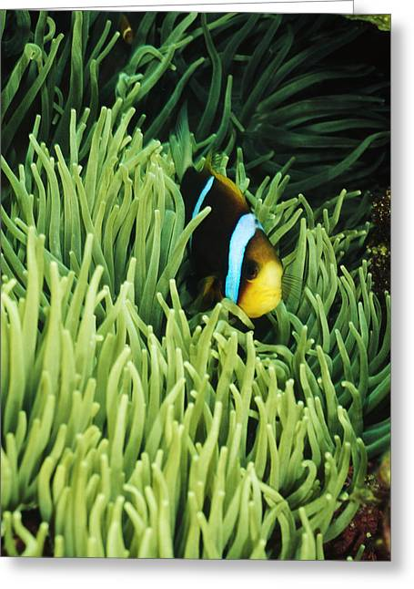 Orange-fin Anemone Fish, Amphiprion Greeting Card by James Forte