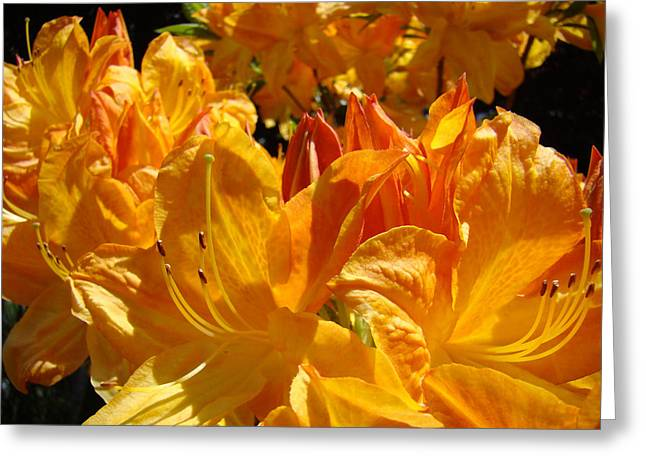 Rhodie Greeting Cards - Orange Floral Rhodies Landscape art prints Rhododendrons Baslee Troutman Greeting Card by Baslee Troutman
