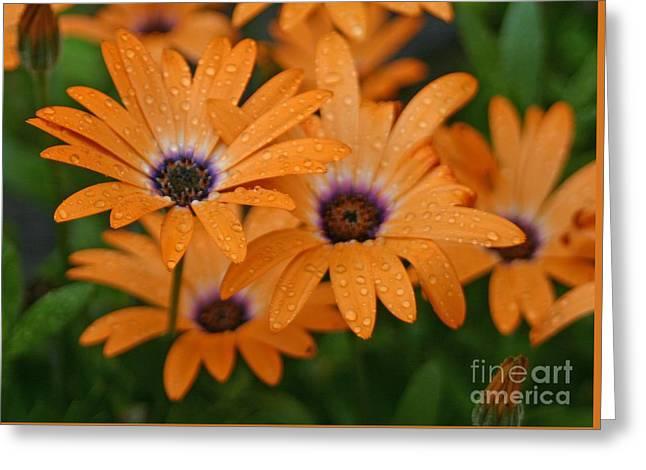 Orange Gazania Greeting Card