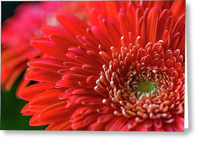 Greeting Card featuring the photograph Orange Gerbera by Clare Bambers