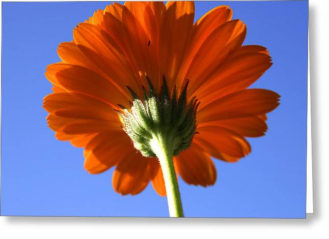 Orange Gerbera Flower Greeting Card by Ralph A  Ledergerber-Photography
