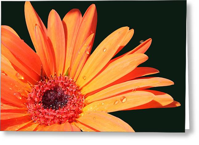 Orange Gerbera On Black Right Side  Greeting Card by Cathy  Beharriell
