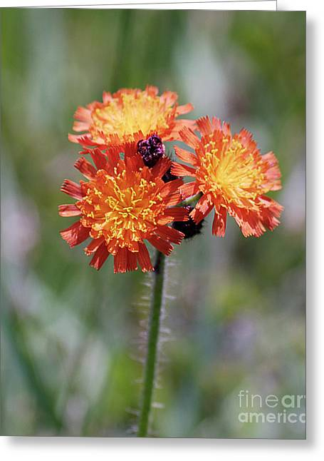 Orange Hawkweed Greeting Card