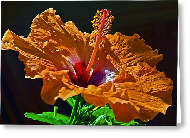 Orange Hibiscus. Greeting Card by Andy Za