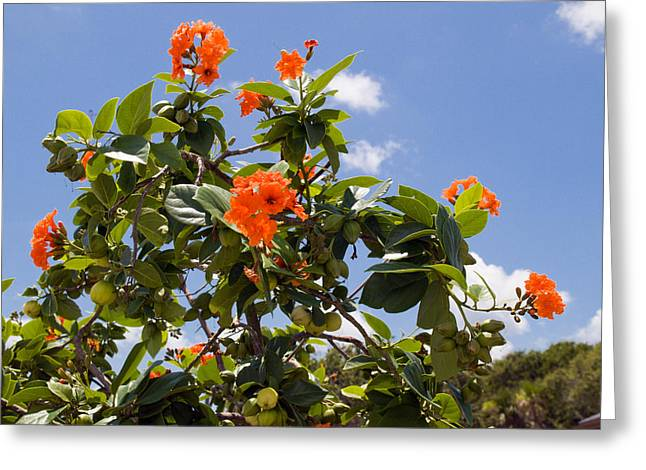 Orange Hibiscus With Fruit On The Indian River In Florida Greeting Card by Allan  Hughes