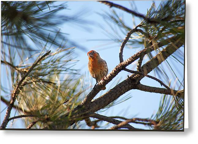Orange House Finch 2 Greeting Card