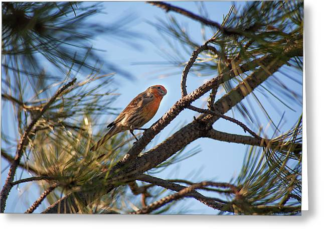 Orange House Finch Greeting Card