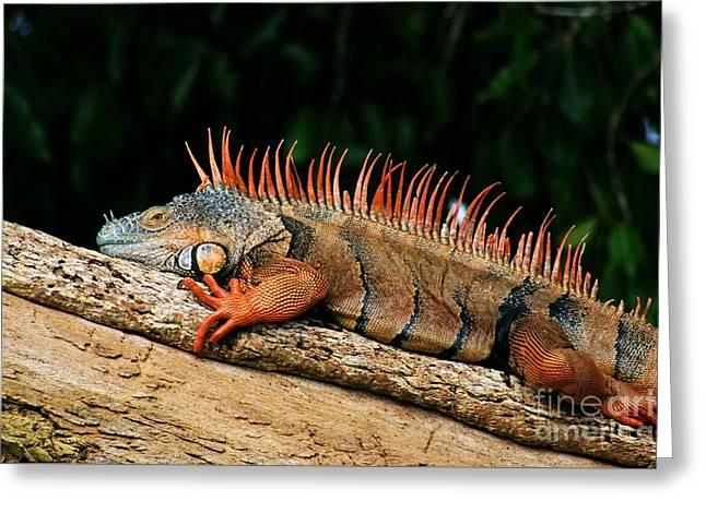 Orange Iguana Close Up Greeting Card by Robert Wilder Jr