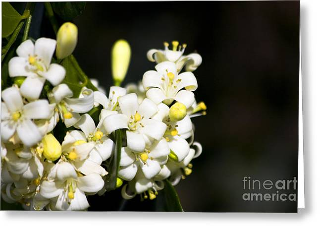 Orange Jessamine Greeting Card by Jorgo Photography - Wall Art Gallery