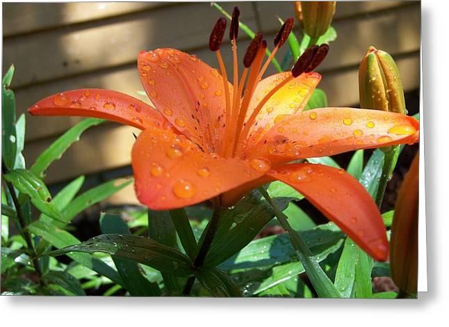 Orange Lilly Greeting Card