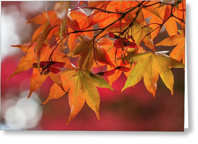 Greeting Card featuring the photograph Orange Maple Leaves by Clare Bambers