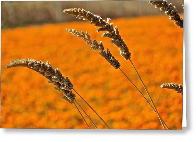 Orange Marigolds Greeting Card by Liz Vernand