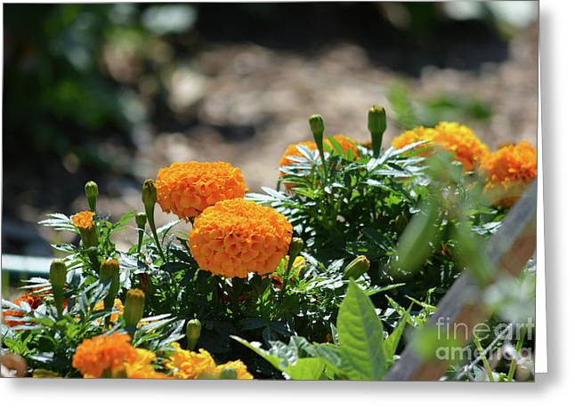 Orange Marigolds  Greeting Card by Ruth Housley