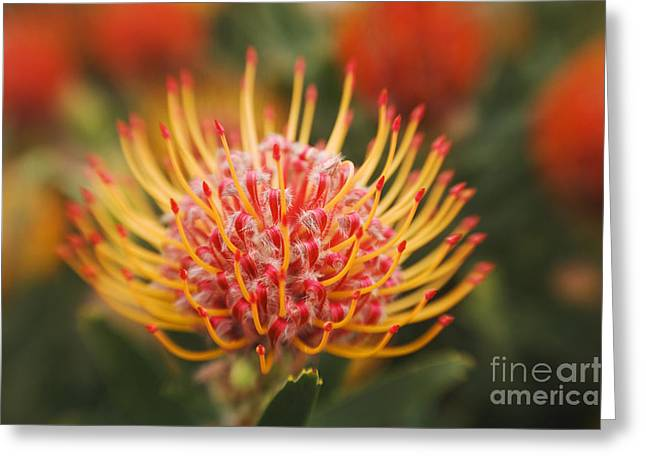 Orange Pin Cushion Protea Greeting Card by Ron Dahlquist - Printscapes