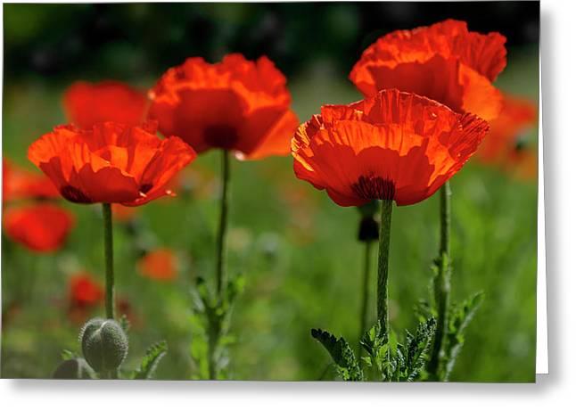 Orange Poppies In The Sunshine Greeting Card