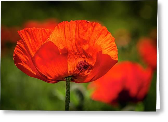 Orange Poppy Bloom Greeting Card