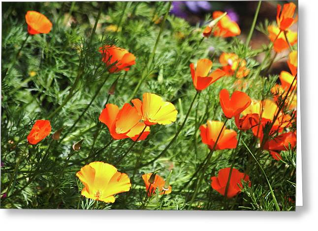 Orange Poppy Flowers . R1269 Greeting Card by Wingsdomain Art and Photography