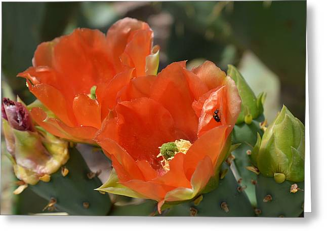Orange Prickly Pear Blossoms  Greeting Card