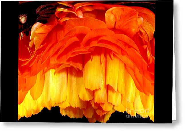 Orange Ranunculus Polar Coordinate Greeting Card by Rose Santuci-Sofranko