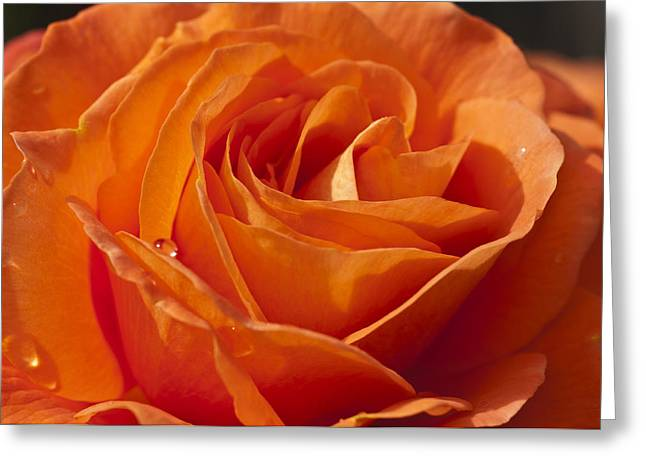 Orange Rose 2 Greeting Card by Steve Purnell