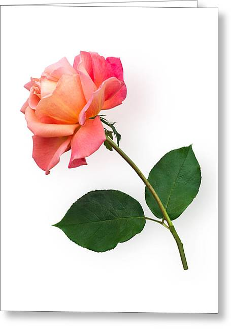 Orange Rose Specimen Greeting Card by Jane McIlroy